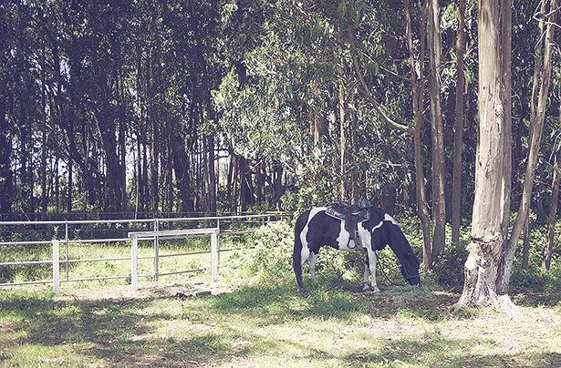 eucalyptus grove at costanoa with a horse