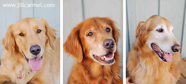 golden-retriever-dog-portraits (1)