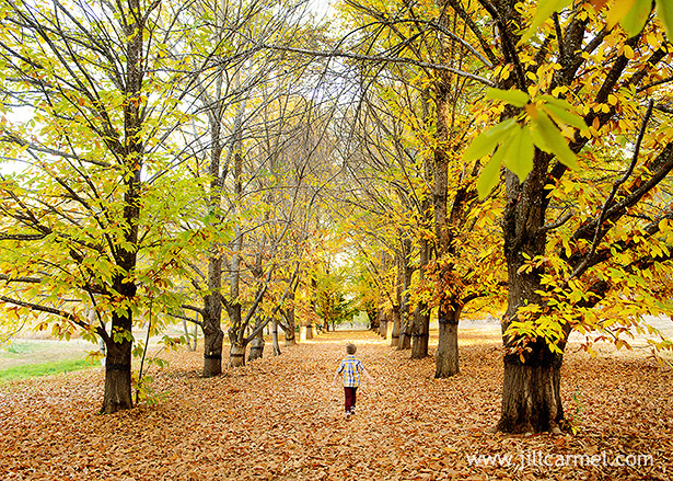 boy running through the chestnut orchard enveloped by yellow foliage