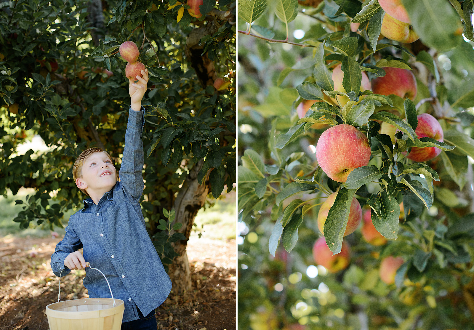 Boy in Chambray Shirt Picking Apples in Apple Hill