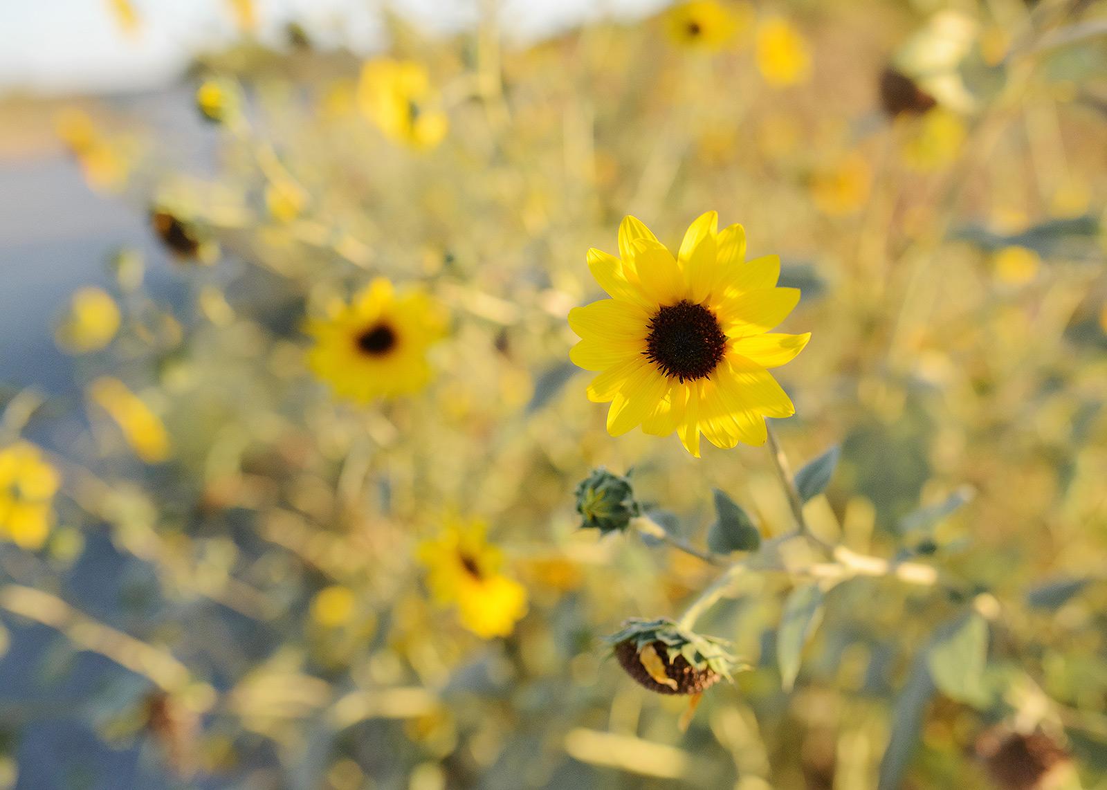 Yellow Wildflower Field in West Sacramento