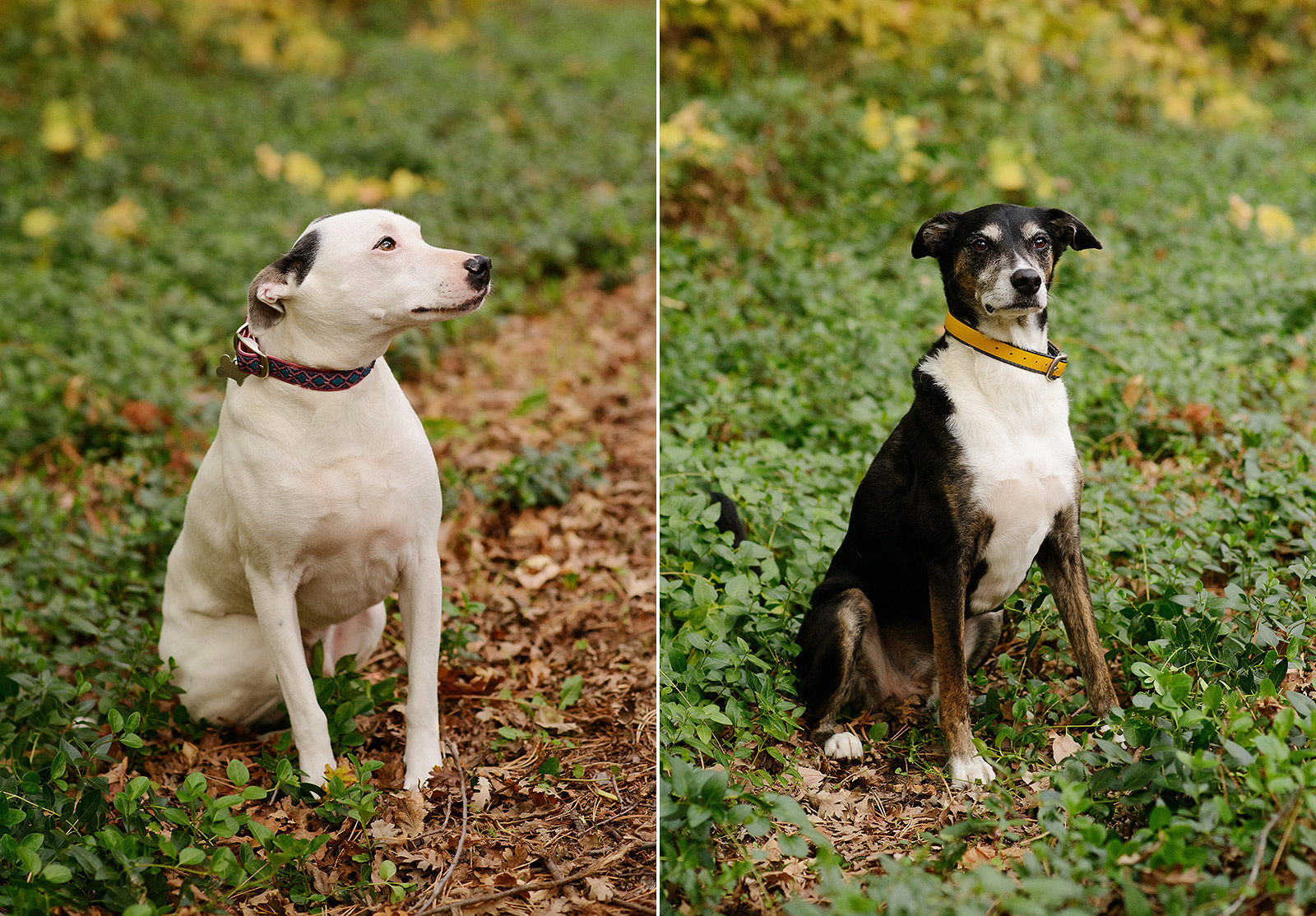 Dog Portraits in Chico Sitting on Fallen Leaves