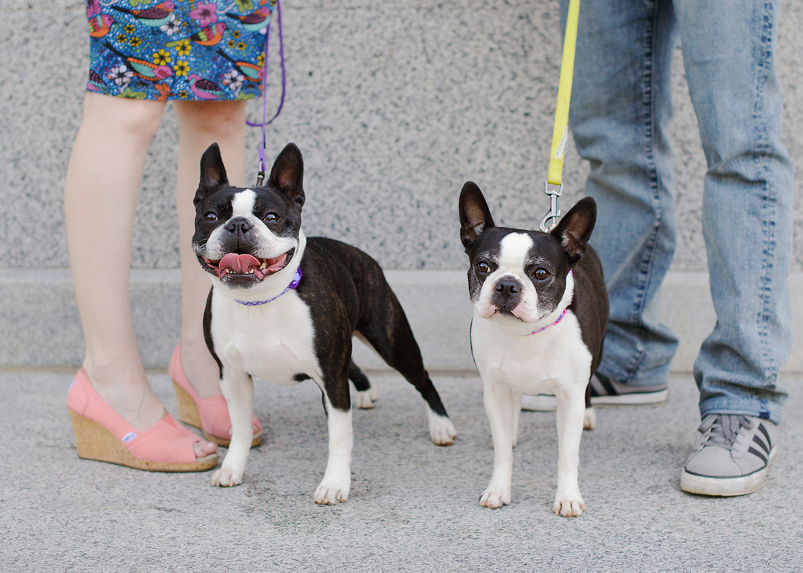 Boston Terriers posing for family photos with closeup of feet at State Capitol