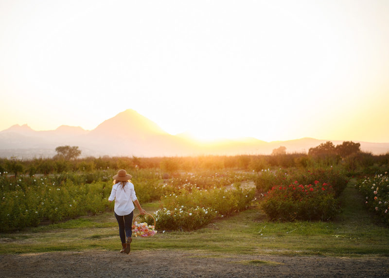 Woman holding a basket of roses walking towards mountains on flower farm in Sacramento Valley