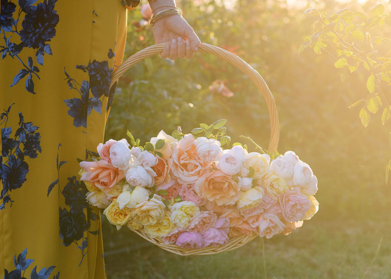 Close up of basket of pink and yellow roses during sunset in Sacramento Valley flower farm