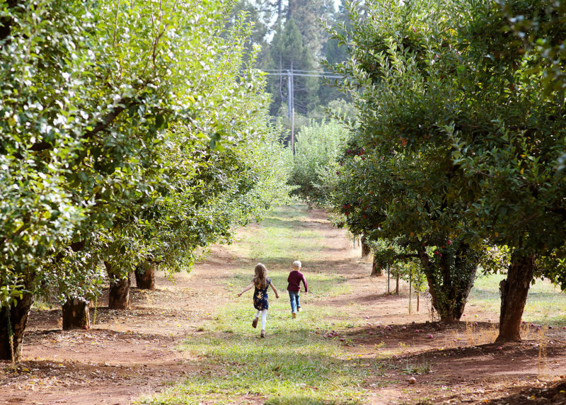 Brother and sister running in apple orchard in Apple Hill